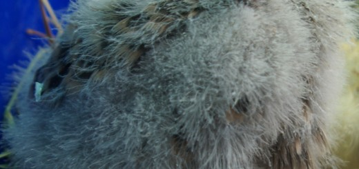 Poussin de Faucon Crécerelle