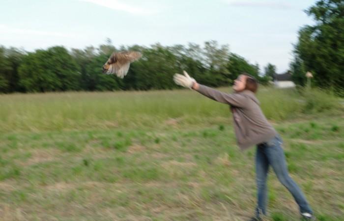 lâcher de hibou des marais - SNA 2013