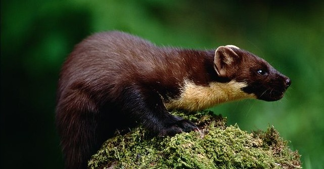 Pine-marten-in-pounce-position